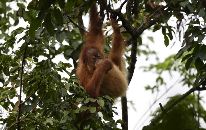 Wildlife of the Leuser Eco System in Sumatra, Indonesia